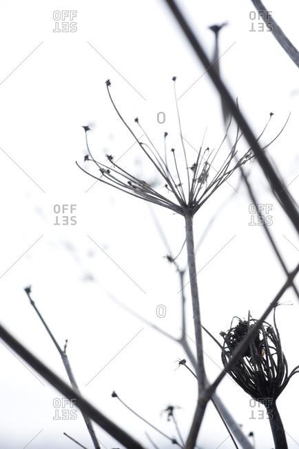 Dried stalk of wildflower