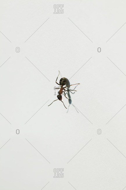 Ant on white background