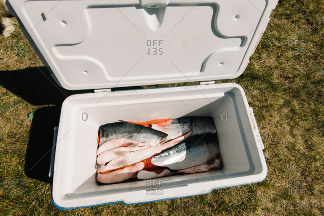 A cooler of filleted salmon