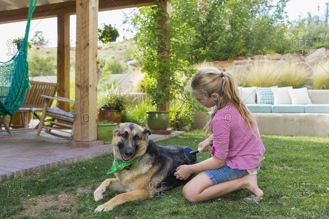 Girl grooming German shepherd in yard