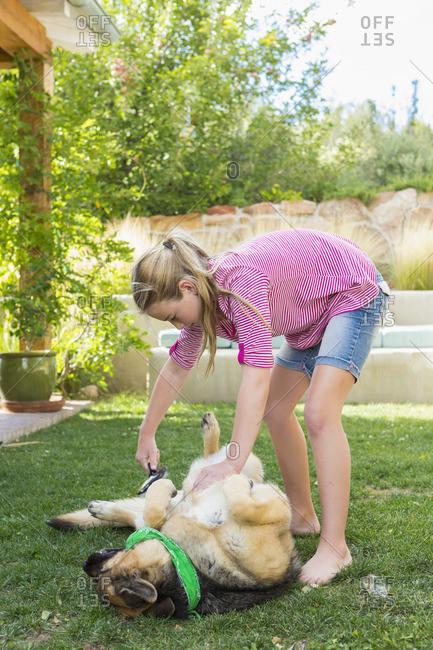 Girl grooming German shepherd\'s fur