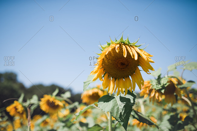Close up of sunflower in a field