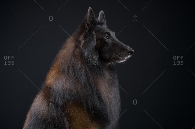 Belgian Tervuren dog on black background