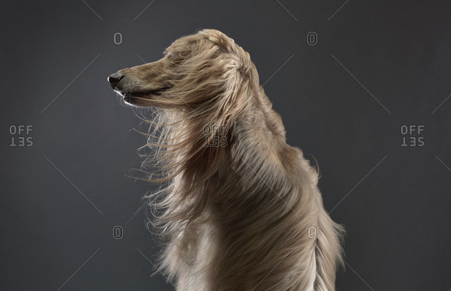Afghan Hound dog with wind blown fur on black background