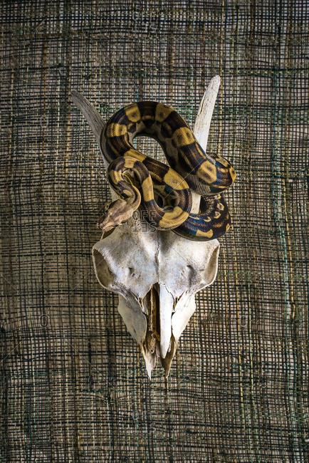 Ball Python slithering around an animal skull