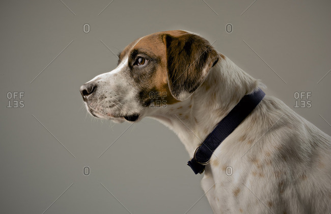Profile of a brown and white dog