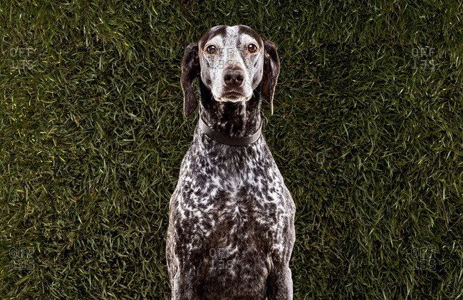 Brown and white dog in front of grass background