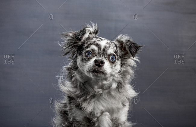 Portrait of a small black and white dog with blue eyes