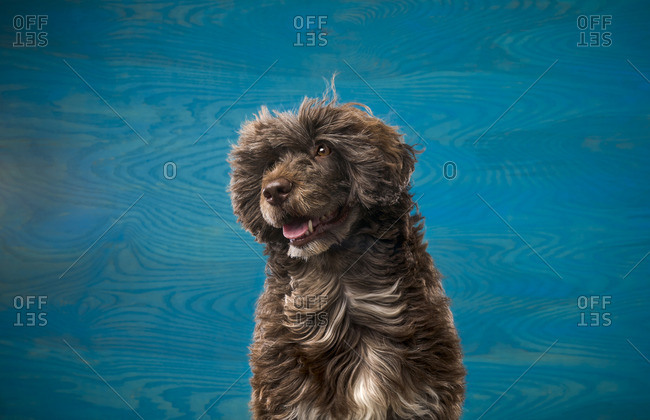 Portuguese Water Dog in front of blue background