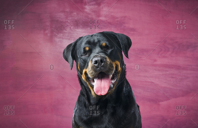 Rottweiler dog in front of pink background