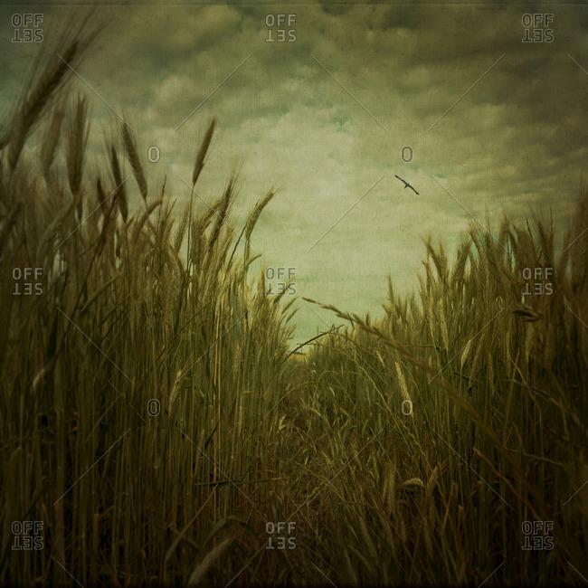 Track through barley field - Offset