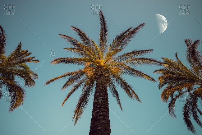 Three palm trees in the evening with moon in the background