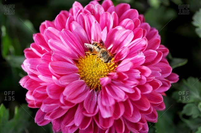 Close up of pink chrysanthemum flower.