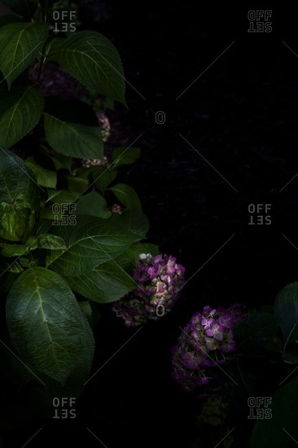 Purple hydrangea blossoms on black background