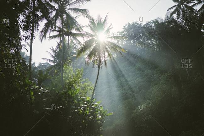 Rays of sunshine shining through palm trees in a rainforest in Bali