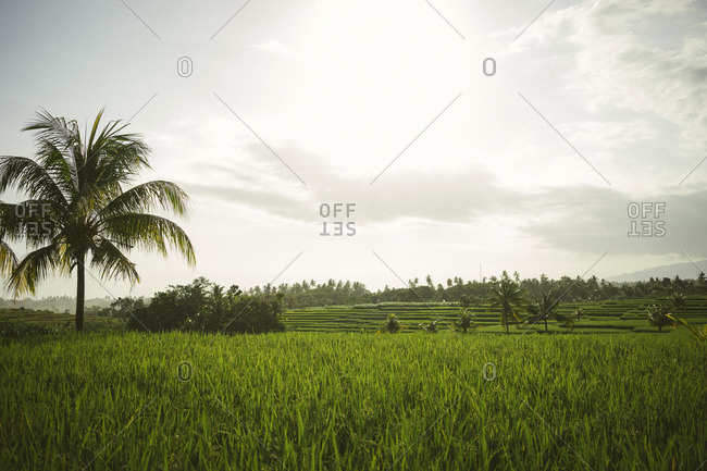 Vast rice fields and stray palm trees in Bali
