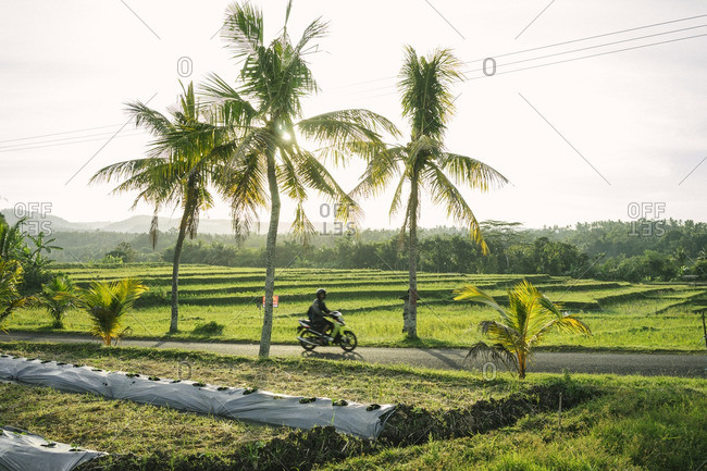 Man on a motorbike riding on a road between rice fields in Bali