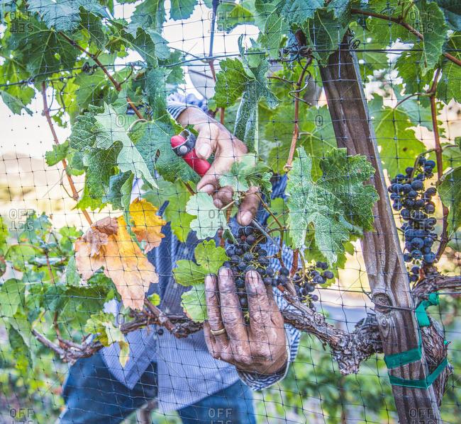 Man's hands harvesting wine grapes in Napa Valley, California