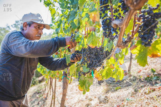 Napa Valley, California - September 6, 2016: Worker harvesting grapes from vines