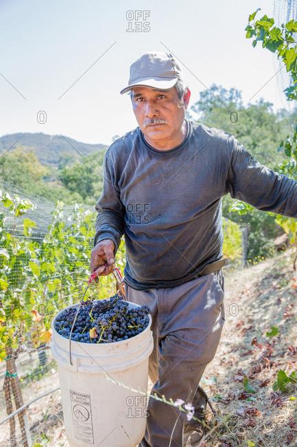 Napa Valley, California - September 6, 2016: Farmer carrying bucket of harvested wine grapes