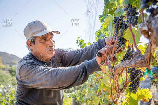 Napa Valley, California - September 6, 2016: Portrait of vineyard worker harvesting grapes