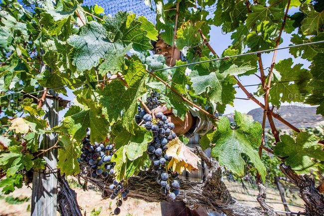 Napa Valley, California - September 6, 2016: Farm worker harvesting grape