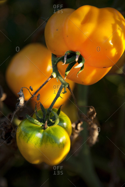Yellow peppers on a vine
