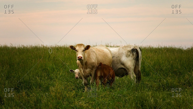 Cow and calves in a grassy field