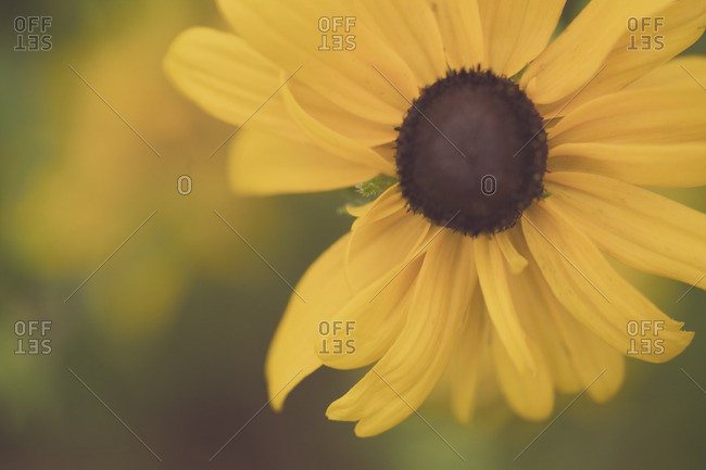 Close up of yellow flower with brown center stock photo offset mightylinksfo