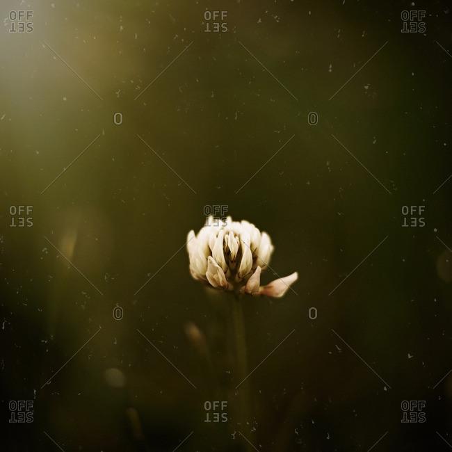 Close up of a single clover