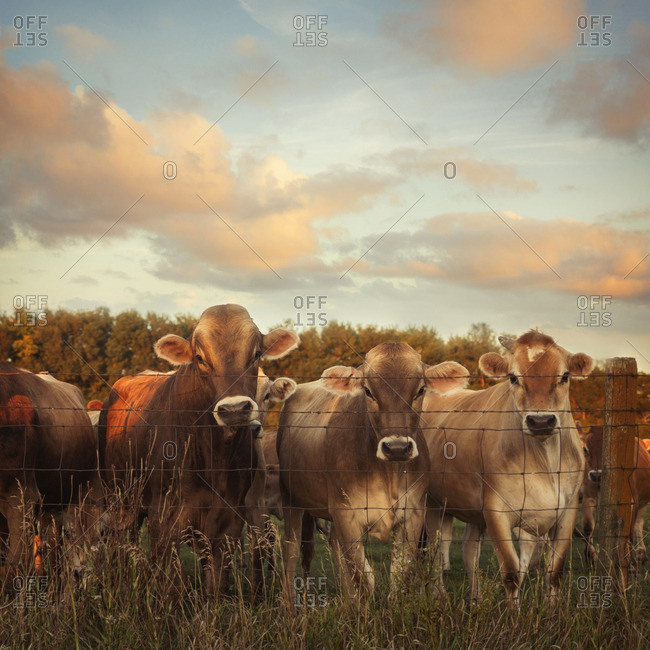 Herd of cows behind barbed wire fence