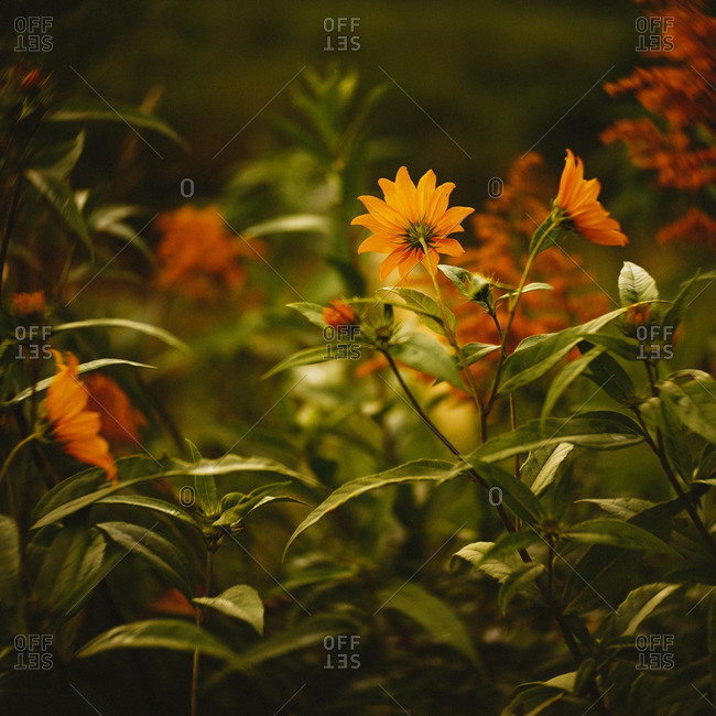 Golden wildflowers