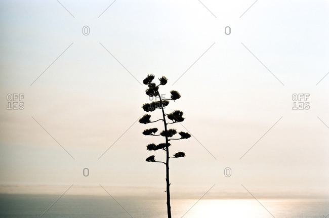 Silhouette of plant growing near the ocean