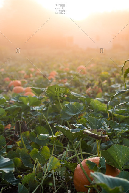 Pumpkin patch in morning light