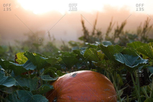 Ripe pumpkin in morning light