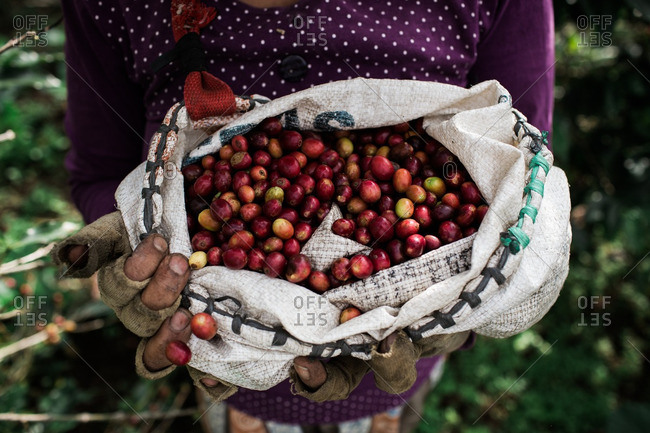 Woman holding coffee cherries in Central Java, Indonesia
