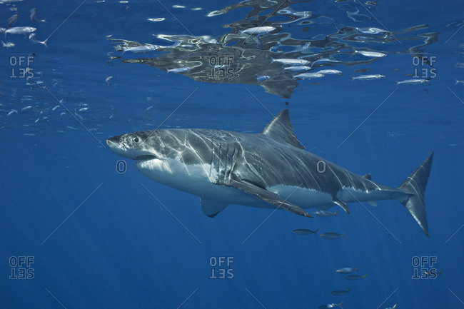 Great white shark (Carcharodon carcharias), Guadalupe Island, Baja, Mexico