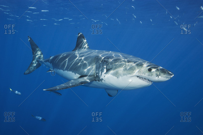 Close-up of a great white shark (Carcharodon carcharias),  Guadalupe Island, Baja, Mexico