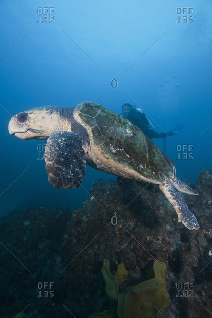 Loggerhead sea turtle (Cartetta caretta), and scuba diver