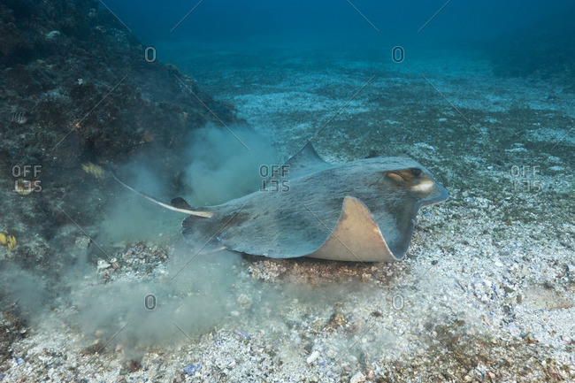 Australian bull ray (Myliobatis australis) kicks up clouds of sand from ocean floor, Australia