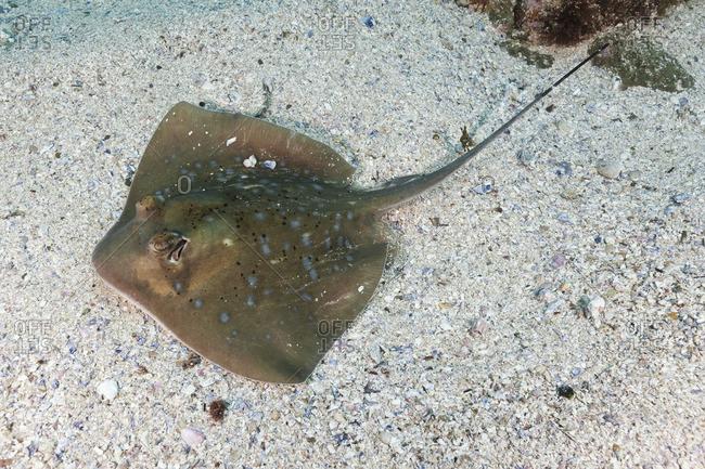 Bluespotted stingray (Neotrygon kuhlii) on ocean bottom