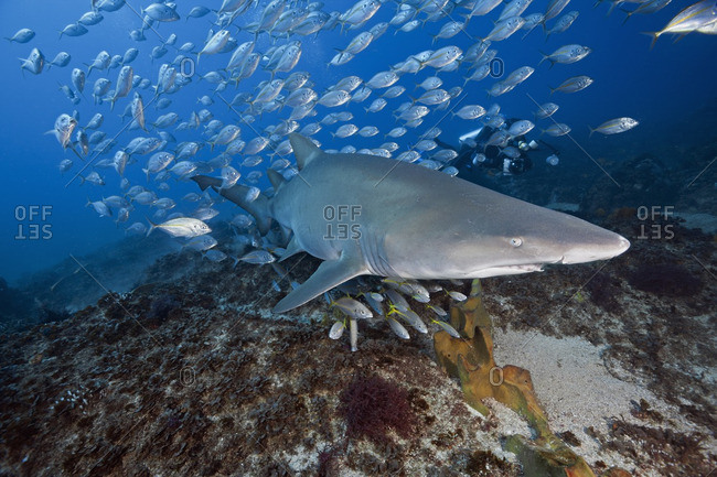 Sand tiger shark (Carcharias taurus) swimming with a school of jack fish, Australia