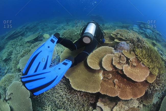 Great Barrier Reef, Australia - September 19, 2016: Scuba diver swimming over healthy coral reef