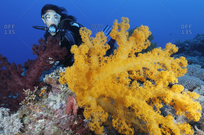 Great Barrier Reef, Australia - September 19, 2016: Scuba diver and soft corals (Dendronephthya sp.)