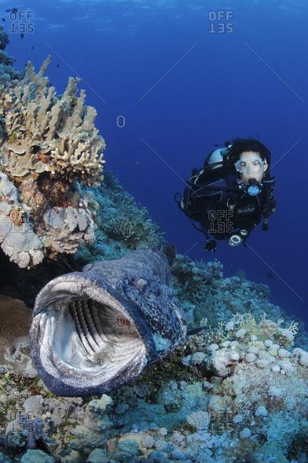 Great Barrier Reef, Australia - September 19, 2016: Potato cod (Epinephelus tukula) opening mouth wide while scuba diver watches