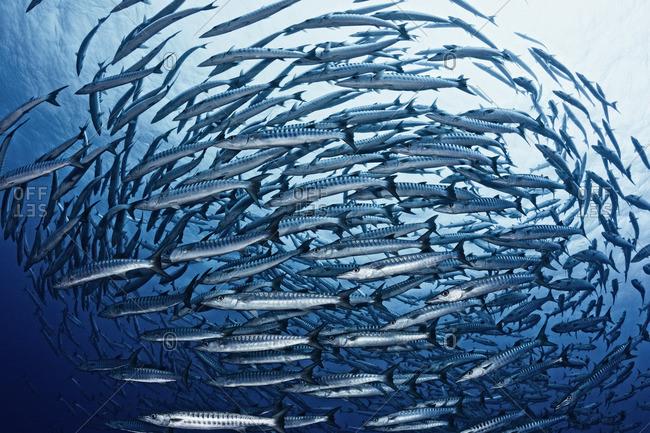 School of chevron barracuda (Sphyraena qenie) swimming together, Australia