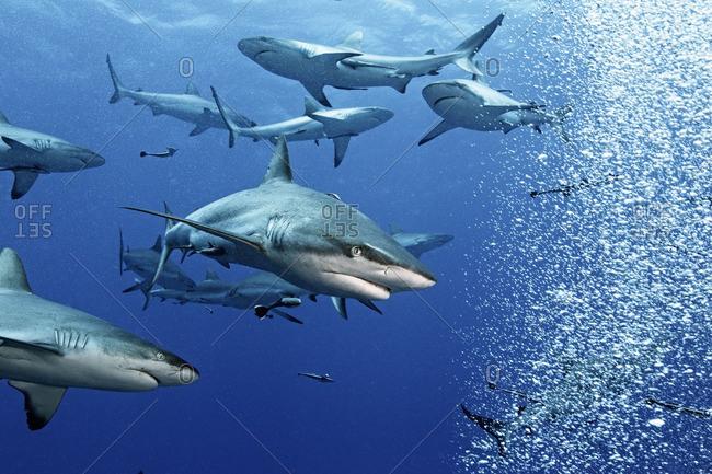 Group of gray reef sharks (Carcharhinus amblyrhynchos), Australia