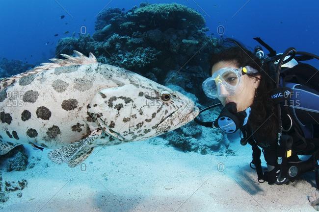 Great Barrier Reef, Australia - September 19, 2016: A potato cod (Epinephelus tukula) interacting with scuba diver