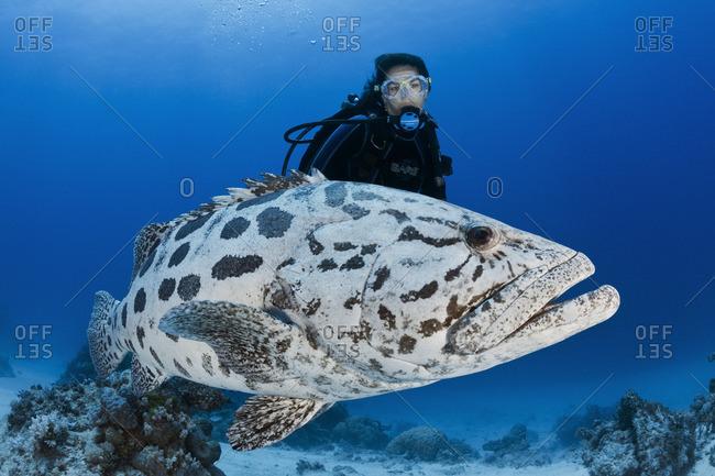 Great Barrier Reef, Australia - September 19, 2016: A potato cod (Epinephelus tukula) swims with scuba diver