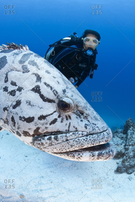 Great Barrier Reef, Australia - September 19, 2016: A scuba diver follows a potato cod (Epinephelus tukula)